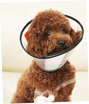 Labradoodle with head cone after surgery thanks to Healthy Paws Puppy Insurance