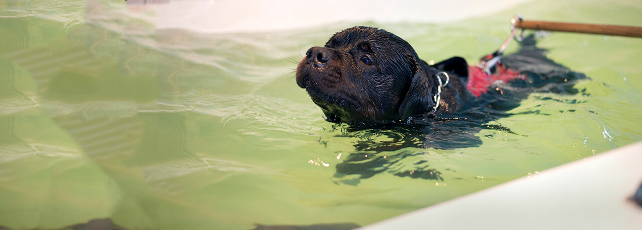 Chocolate Labrador swimming for hydrotherapy