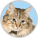 Grey Maine Coon with Healthy Paws Cat Insurance