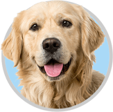 Smiling Golden Retriever with Healthy Paws Dog Insurance
