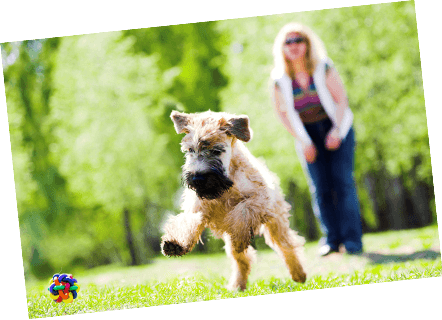 Soft-Coated Wheaten Terrier with Healthy Paws Dog Insurance