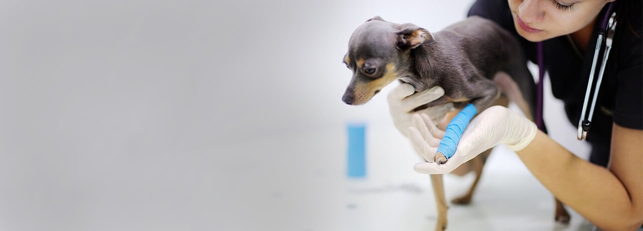 Miniature Pinscher with broken arm treated by vet