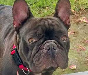 Huggy Bear-French Bulldog Rescue Network