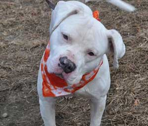 Gucci the American Bulldog mix