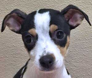 Madison the Russel Terrier mix