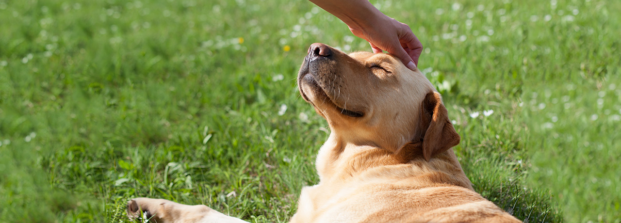 Golden retriever getting a head scratch