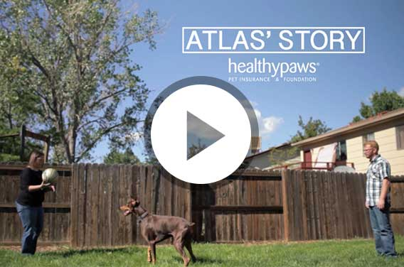 Video of Atlas the Doberman
