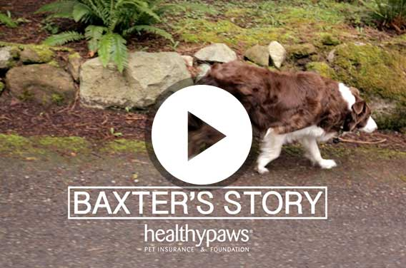Cancer in dogs- Baxter